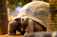 Aldabra - Giant Turtle